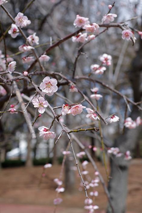 Tsukubabotanicalgarden_mar2012044m