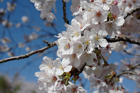 Inarigawacherryblossom_apr2014_0004