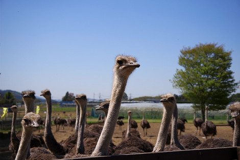 Ostrichfarm_apr2018_0004m